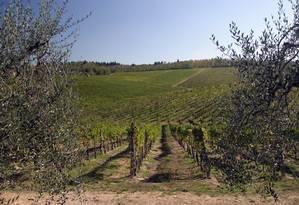 Videiras para produção de vinho em Chianti, na Itália Foto: Antonella Kann/08-02-2007