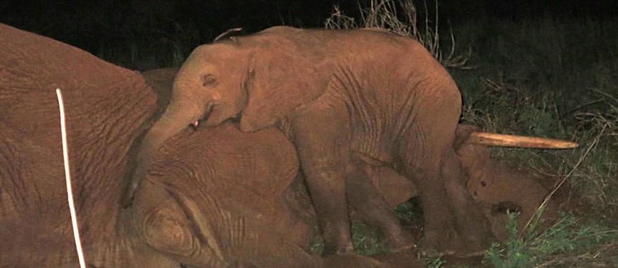 Filhote de elefante junto ao corpo de sua mãe Foto: Reprodução