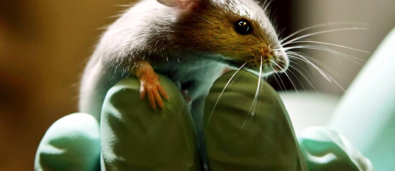 Células-tronco neurais humanas foram injetadas em roedores aleijados Foto: ROBERT F. BUKATY / ROBERT F. BUKATY/AP