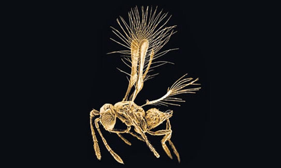 A vespa Tinkerbella nana ostenta uma charmosa franja, mas sua vida dura apenas poucos dias Foto: John T. Huber