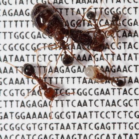 Na busca por alimentos, formigas processam informações de modo mais eficiente do que o Google Foto: Terceiro / Agência O Globo