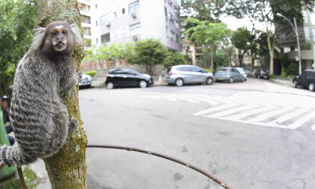 Micos e macacos são facilmente encontrados na Mata Atlântica do Rio de Janeiro. Turistas devem evitar Foto: Ivo Gonzalez / Agência O Globo