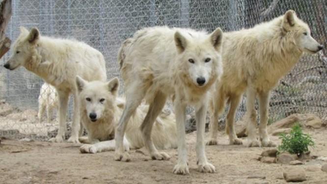 Lobos no santuário que receberá dinheiro arrecadado por George R.R. Martin Foto: Reprodução