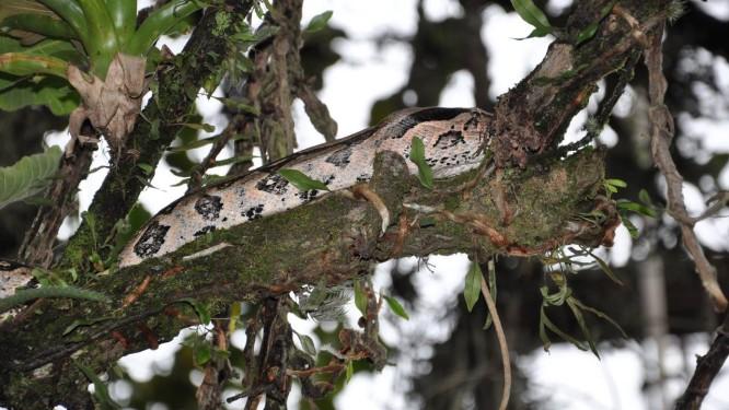 Jiboia é flagrada em árvore no Jardim Botâncio próximo a estacionamento Foto: Leitora Elisângela Roque dos Santos