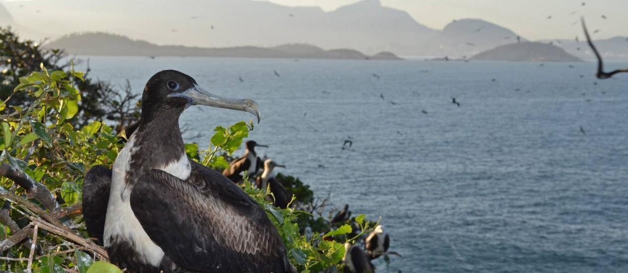Fragata repousa no Arquipélago das Cagarras: exposição mostrará maravilhas da unidade de conservação marinha Foto: Fernando Moraes/Divulgação