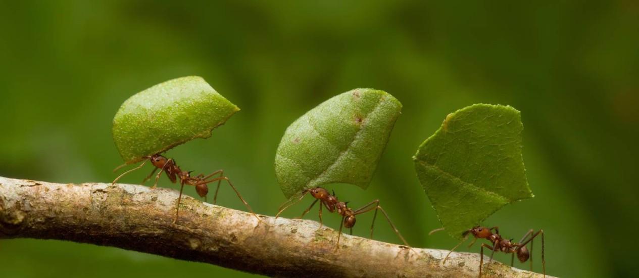 Pesquisa inspirada em formigas poderá criar robês que ajudem em construção de barreiras Foto: Agência O Globo