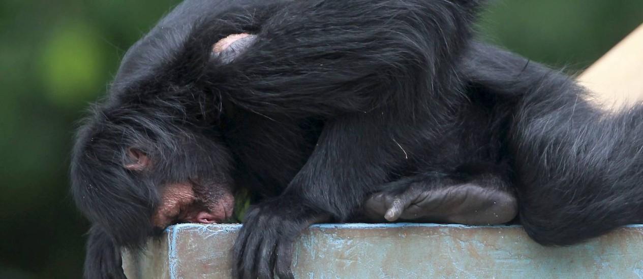 O macaco-aranha está entre as espécies que podem ter dificuldades em atravessar a região sem cobertura florestal Foto: Bruno Gonzalez