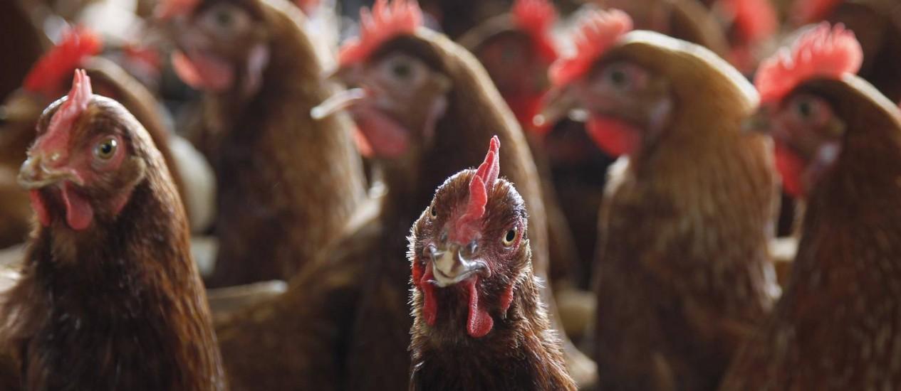Galinhas em uma granja em São Paulo: aves cruas estão contaminadas com bactéria que pode se espalhar para roupas e utensílios se forem lavadas Foto: Michel Filho