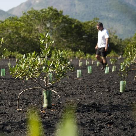 O biólogo marinho Luiz Gonzaga entre as mudas que plantou no manguezal Foto: Guilherme Leporace / Agência O Globo
