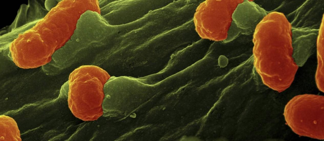 Bactérias da espécie Escherichia coli (em vermelho) na superfície de uma célula epitelial humana (em verde): micro-organismos da família dos gram-negativos, como a E. Coli, que causa diversos males, poderão ser alvo de uma nova geração de antibióticos Foto: Latinstock