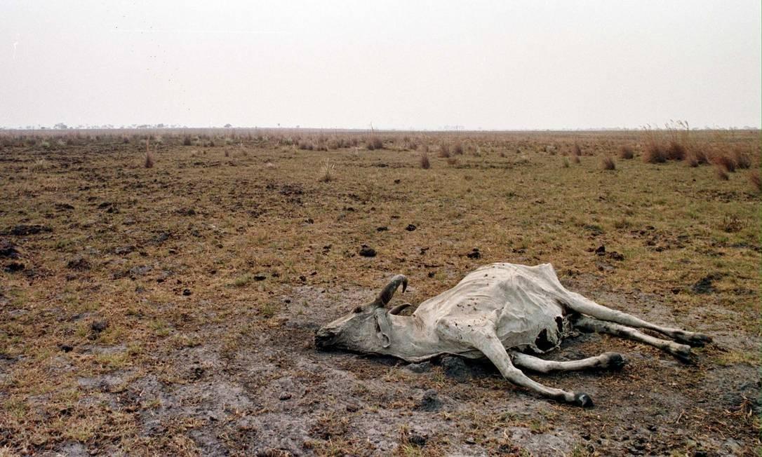 Vaca morta em Pacaraima, na Roraima: índice de chuvas cai até 45% na Região Norte durante o El Niño Foto: / Marie Hippenmeyer/AFP