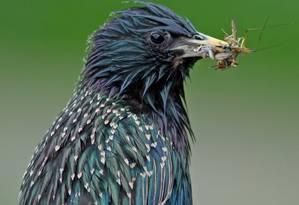 Este estorninho é uma das 15 espécies de aves cujo declínio na população tem sido associado ao uso de agrotóxicos na Holanda Foto: The Independent