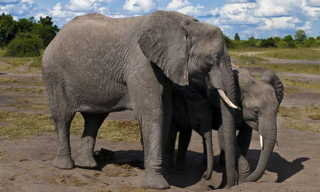Elefantes estão entre os animais mais ameaçados em função do comércio de marfim Foto: Agência O Globo