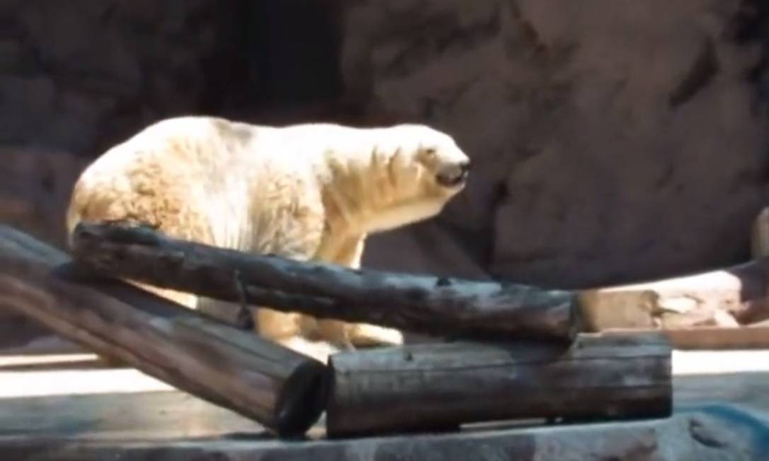 Defensores dos animais lutam por transferência do urso para o Canadá Foto: Reprodução / YouTube