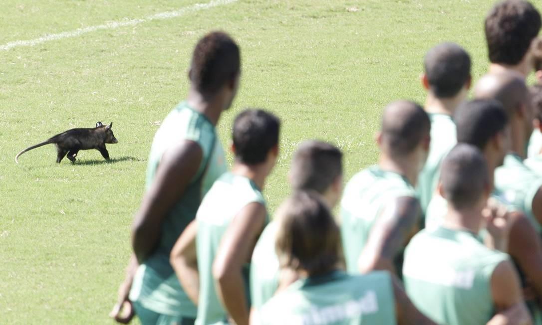 Cada um na sua. Gambá invade o treino do Fluminense, em Laranjeiras Foto: / Marcos Trsitão/4-4-2013