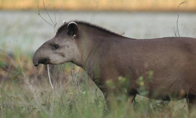 Grandes mamíferos como a anta brasileira são os primeiros a desaparecer com a alteração do ambiente pela ação humana