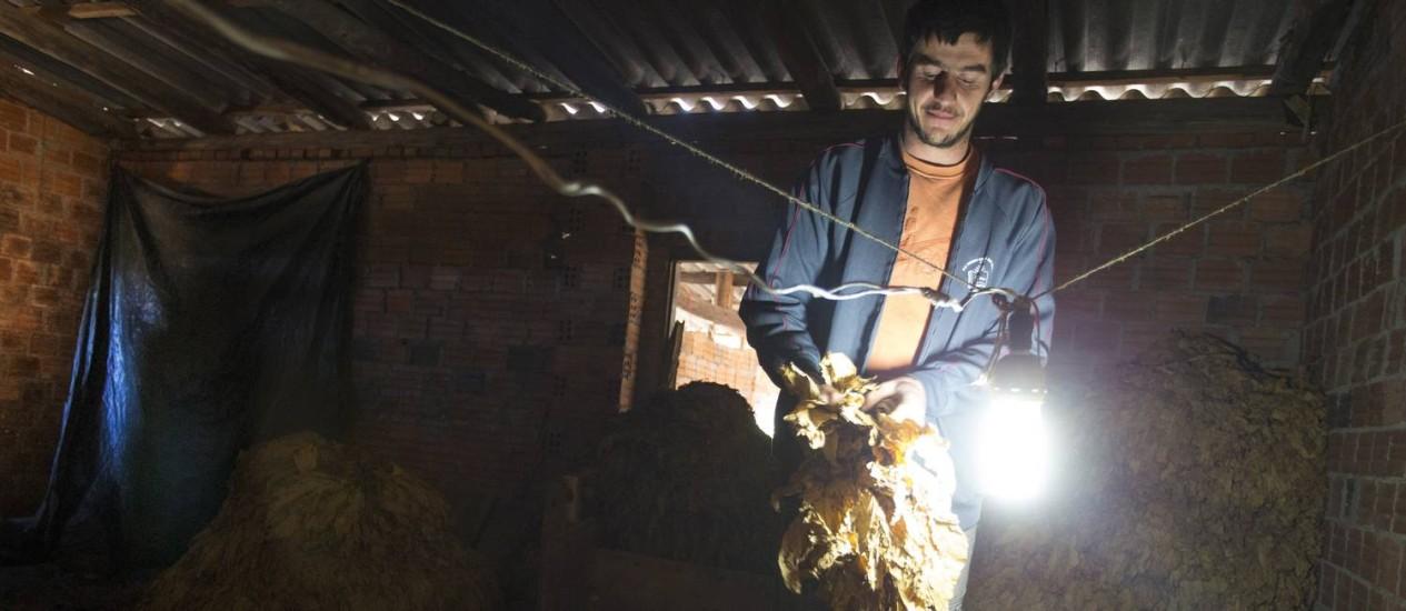 O agricultor Giovane Fouchy classifica as folhas de fumo após a colheita e secagem na estufa Foto: ANTONIO SCORZA / Agência O Globo