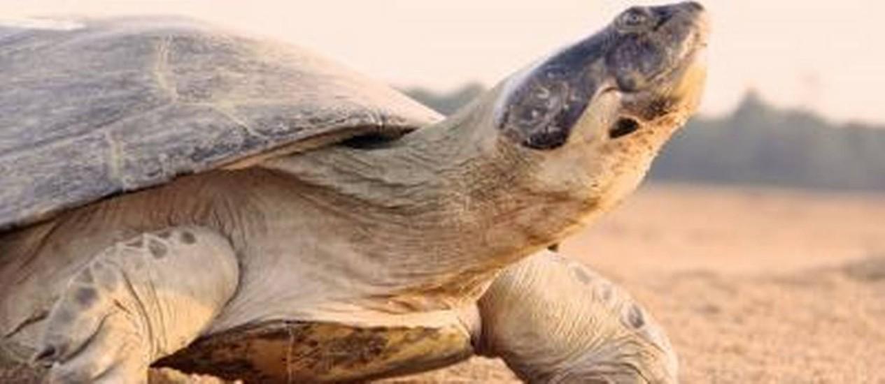 Tartaruga do Rio Amazonas está ameaçada de extinção Foto: Divulgação