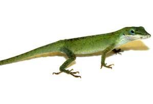 Anolis carolinensis: espécie de lagarto verde foi estudada por cientistas americanos Foto: Divulgação/Joel Robertson