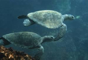 Tartaruga-verde: uma das espécies que vive na Baía de Guanabara Foto: Ricardo Azoury / Livro Submerso: Brasil Oceânico