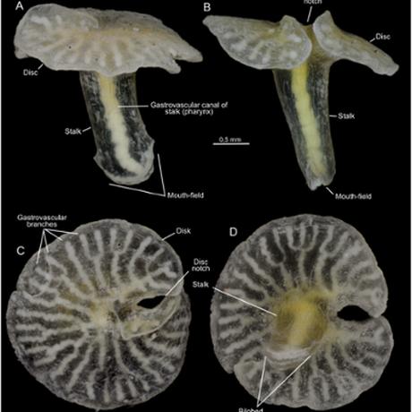 As duas criaturas têm um revestimento exterior e um estômago interno, separados por uma camada densa de material gelatinoso Foto: PLOS ONE