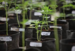 Maconha cultivada em estufas para uso medicinal nos EUA: oportunidade de lucro Foto: MATTHEW STAVER / NYT/31-7-2014