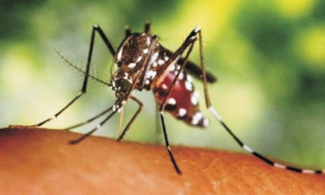 Aedes aegypti é transmissor da doença Foto: Reprodução / Agência O Globo