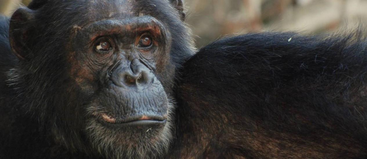 Minha fama de mais: macho da comunidade Kasekela Foto: Divulgação/Ian Gilby
