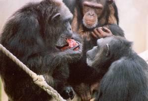 Duas macacas fêmeas adultas olham enquanto uma terceira come o alimento favorito Foto: Sarah Brosnan