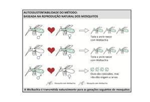 Diagrama mostra como a bactéria se espalha entre os mosquitos transmissores da dengue depois que os insetos contaminados são liberados em um ambiente Foto: Fiocruz