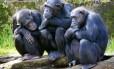 Chimpanzés podem passar conhecimento entre gerações