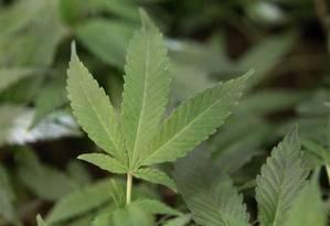 Entre as principais conclusões, está que o uso agudo do cannabis não produz overdoses fatais Foto: Jeff Chiu / AP