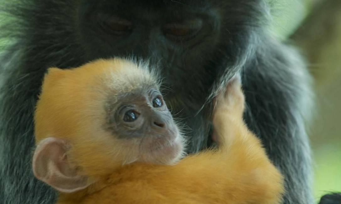 Recém-nascido: imagem rara documenta macaca ajudando outra Foto: Reprodução da internet