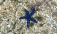 Estrela-do-mar azul, uma das surpresas de Lady Elliot, ilha na região da Grande Barreira de Corais, o maior conjunto coralino do mundo, na Austrália