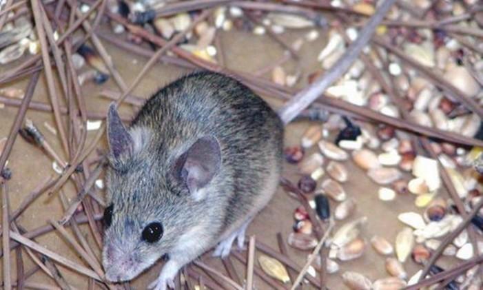 Doença é transmitida por excrementos de roedores Foto: Associated Press