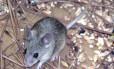 Doença é transmitida por excrementos de roedores