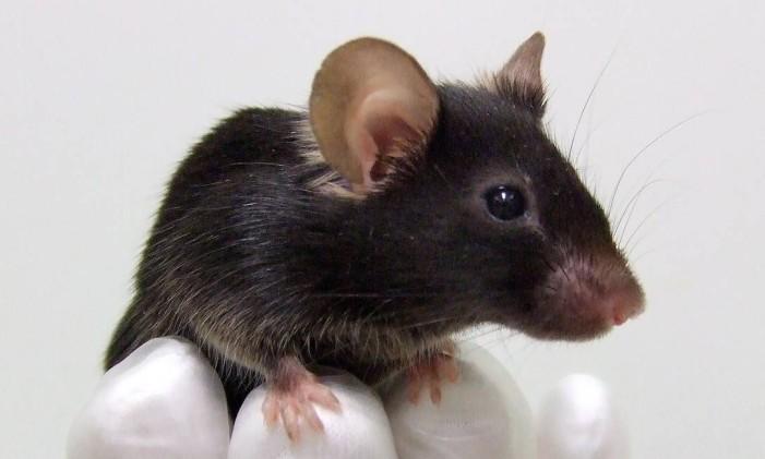 Vírus é transmitido pela urina de ratos Foto: OSAKA UNIVERSITY / AFP