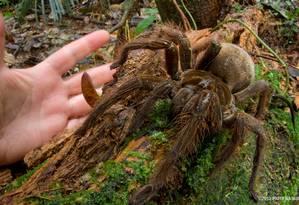 Aracnídeo da família das tarântulas chega a ter 30cm Foto: Reprodução/Piotr Naskrecki