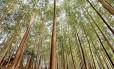 Floresta transgênica aumentaria a produção do papel sem ampliar tamanho de plantação; contaminação do mel orgânico é problema