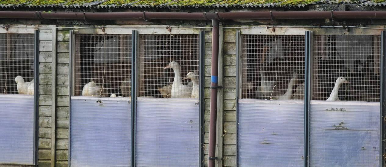 Patos em uma fazenda de Nafferton, na Inglaterra, onde estão sendo tomadas medidas para evitar o contágio por gripe aviária Foto: Steve Parkin / AP