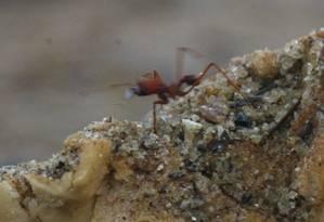 Formigas saúva infestam praça em Bangu Foto: O Globo