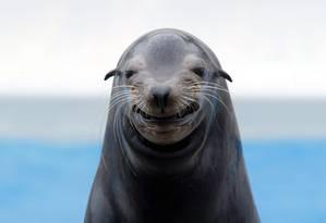 Focas de cativeiro foram capazes de perceber o sinal emitido por marcadores usados em pesquisas marinhas Foto: EFE / EVERETT KENNEDY BROWN