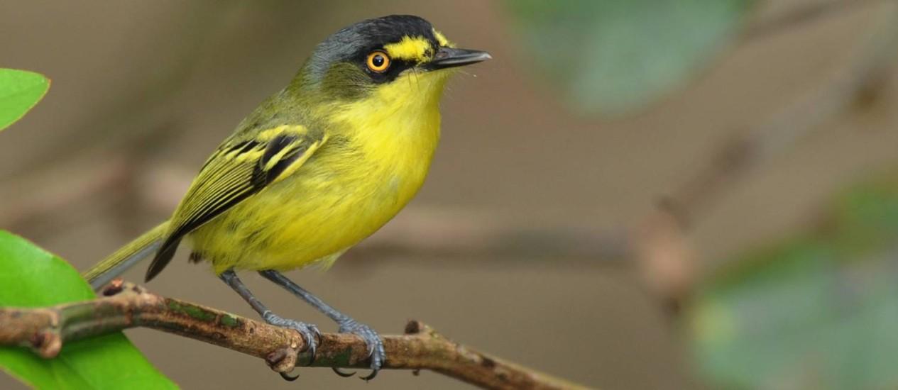 Maior estudo genético de uma classe de animais revelou que pássaros e humanos têm bastante em comum, como os genes usados para controlar o canto deles e nossa fala Foto: Divulgação/João Quental