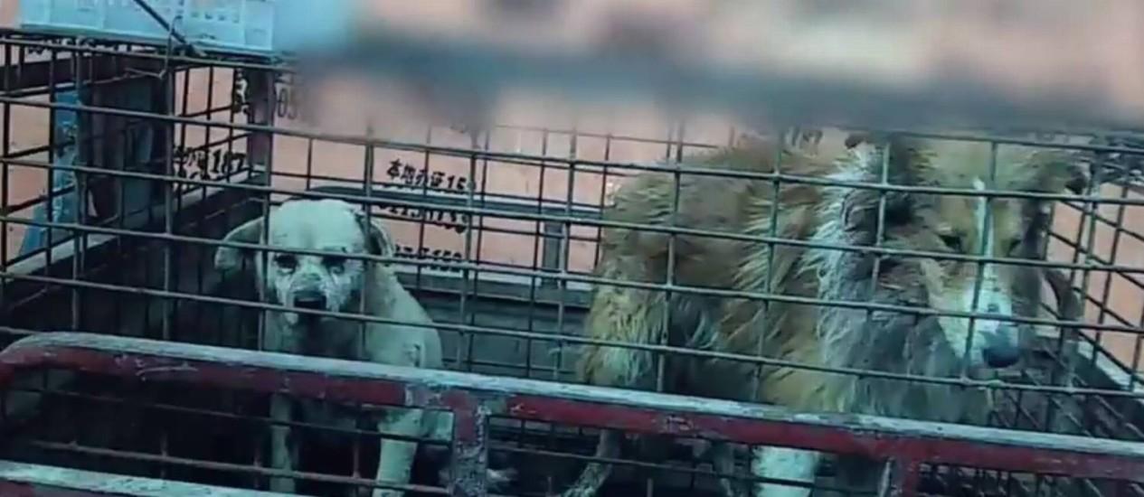 Cães são mantidos em cela antes de serem abatidos Foto: Reprodução/Peta