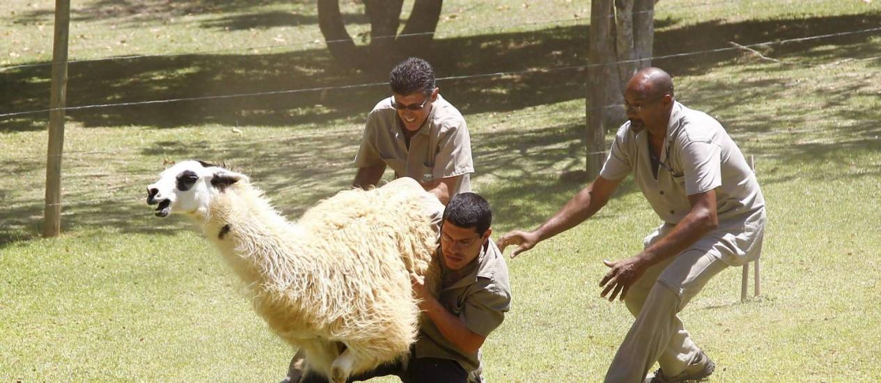 Parente dos camelos, as lhamas são mamíferos típicos da América do Sul Foto: Pablo Jacob / Agência O Globo
