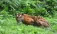 Tigre de bengala no Parque Nacional Kaziranga: comércio de partes de felinos selvagens cresce entre Myanmar e China