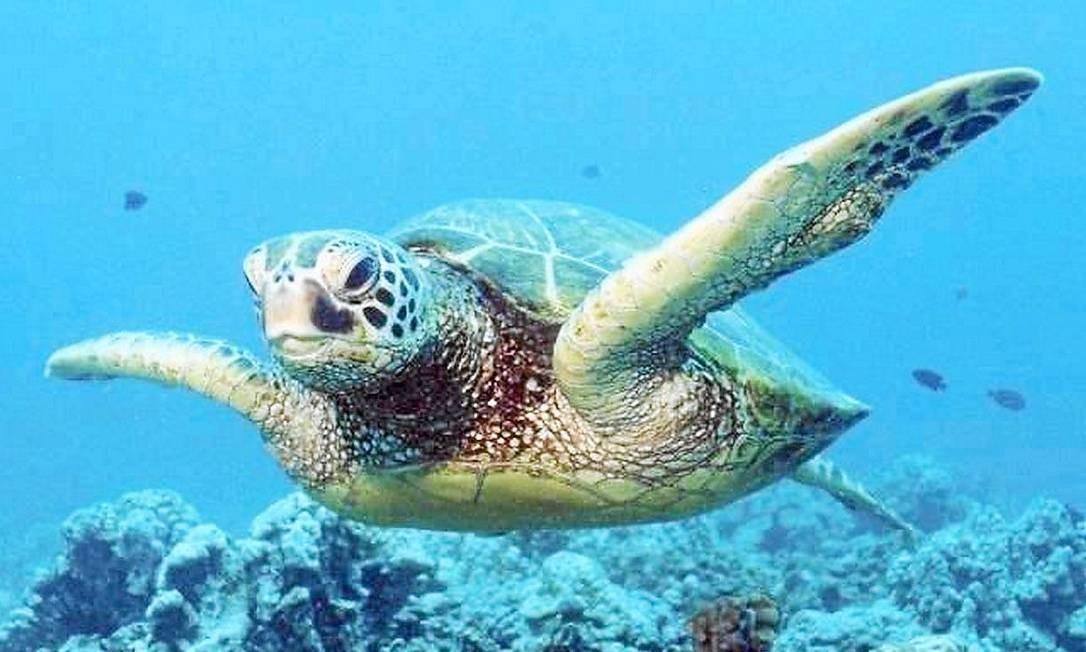 Tartarugas se orientam a partir dos campos magnéticos, as linhas invisíveis que protegem o planeta da radiação solar Foto: Divulgação/Nature /