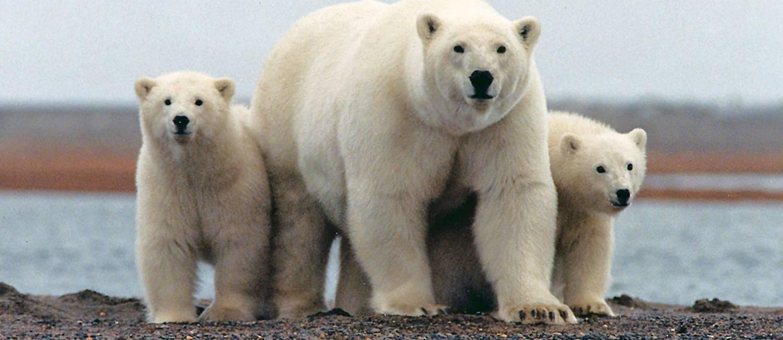 Ursos polares estariam ameaçados por extração de petróleo no Alasca Foto: REUTERS
