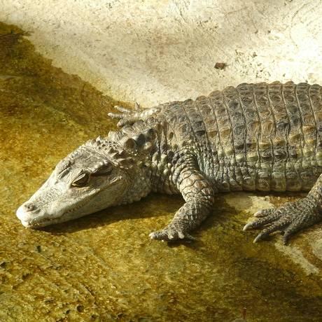 Machos podem chegar a medir entre 1,8 e 2,5 metros de comprimento e as fêmeas, 1,4 metros Foto: Reprodução/Pixabay