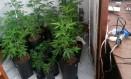 Plantio caseiro: pés de Cannabis encontrados em residência no Alto da Boa Vista, no Rio, em janeiro: prática vem sendo debatida após prisões Foto: Divulgação/ Polícia Civil / .